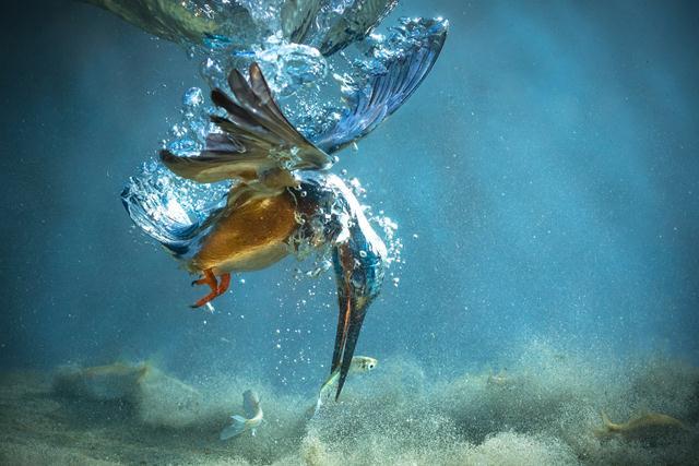 מקום 2 (Petar Sabol, קרואטיה). שלדג לוכד דג במים באגם בצפון קרואטיה, אחד מבתי הגידול בהם מצויים השלדגים בהמוניהם. צילום: Petar Sabol   Siena International Photo Awards (צילום: Siena International Photo Awards)