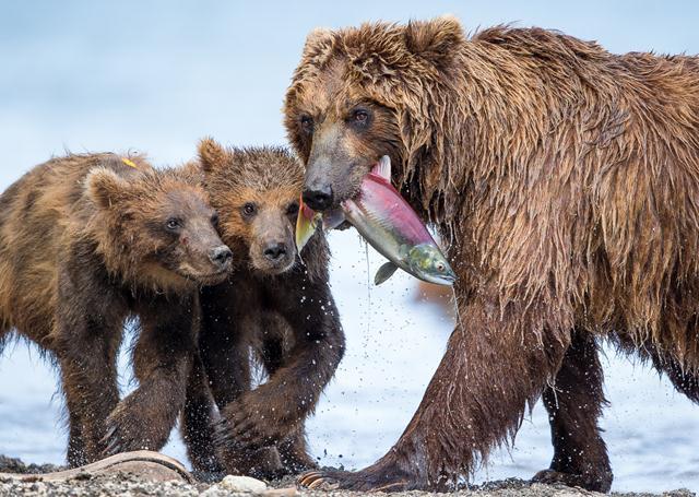 ציון לשבח. (Marco Urso, איטליה) גורי דובים ממתינים לצד אמם ברוסיה כדי להגיע לדג אותו צדה ולדרוש את חלקם. במקרה הנוכחי, שני הגורים בוהים במזון ונראים כמו תאומים. האם מביטה לעבר המצלמה. צילום: Marco Urso  Siena International Photo Awards (צילום: Siena International Photo Awards)