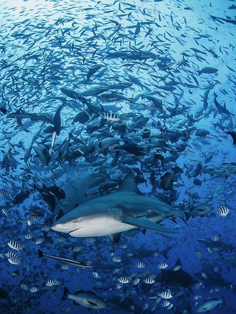 ציון לשבח. (Davide Lopresti, איטליה) כרישים בזמן האכלה באיי פיגי. הכרישים מוחזקים באזור עצום בסביבתם הטבעית כדי להגן עליהם מפני ציידים. צילום: Davide Lopresti   Siena International Photo Awards (צילום: Siena International Photo Awards)