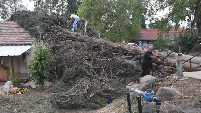 עץ שנפל בכפר סאלד (צילום: אביהו שפירא) (צילום: אביהו שפירא)