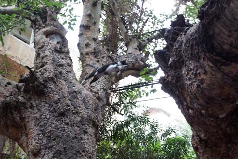 מה חשוב ממה: ערך טבע או ערך נדל''ן? עץ השקמה נשאר בינתיים בחיים (צילום: דור נבו)
