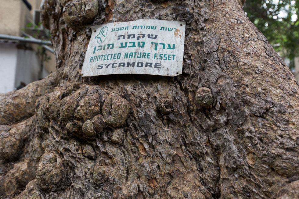 רשות הטבע והגנים הכריזה על העץ, שגילו מוערך בכמה מאות שנים, כערך מוגן. לא בטוח שזה יספיק לו, בעידן של ''התחדשות עירונית'' (צילום: דור נבו)