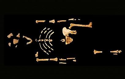 השרידים של לוסי אוסטרלופיתקוס (צילום: מתוך אתר הידען) (צילום: מתוך אתר הידען)