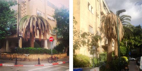 גם במרכז תל אביב: דקלים מתים (צילום: שחר צור )