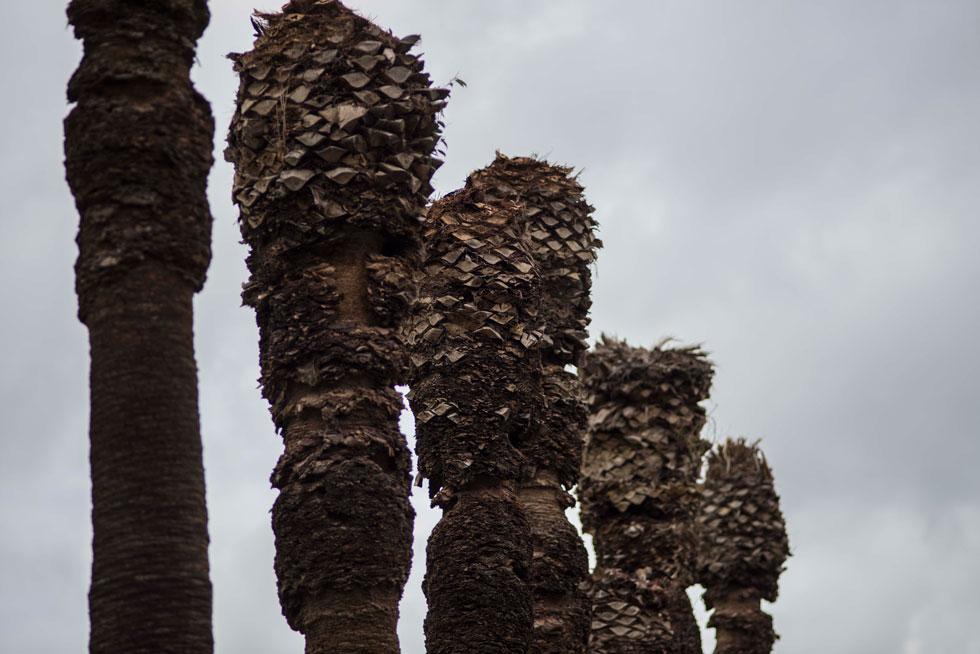 במבט מקרוב אפשר לראות את ראשי הדקלים הקטומים. החיפושית מחוררת את הגזעים עד שהעלים מצהיבים ונופלים - ולבסוף העץ מת וקורס (צילום: יובל חן )
