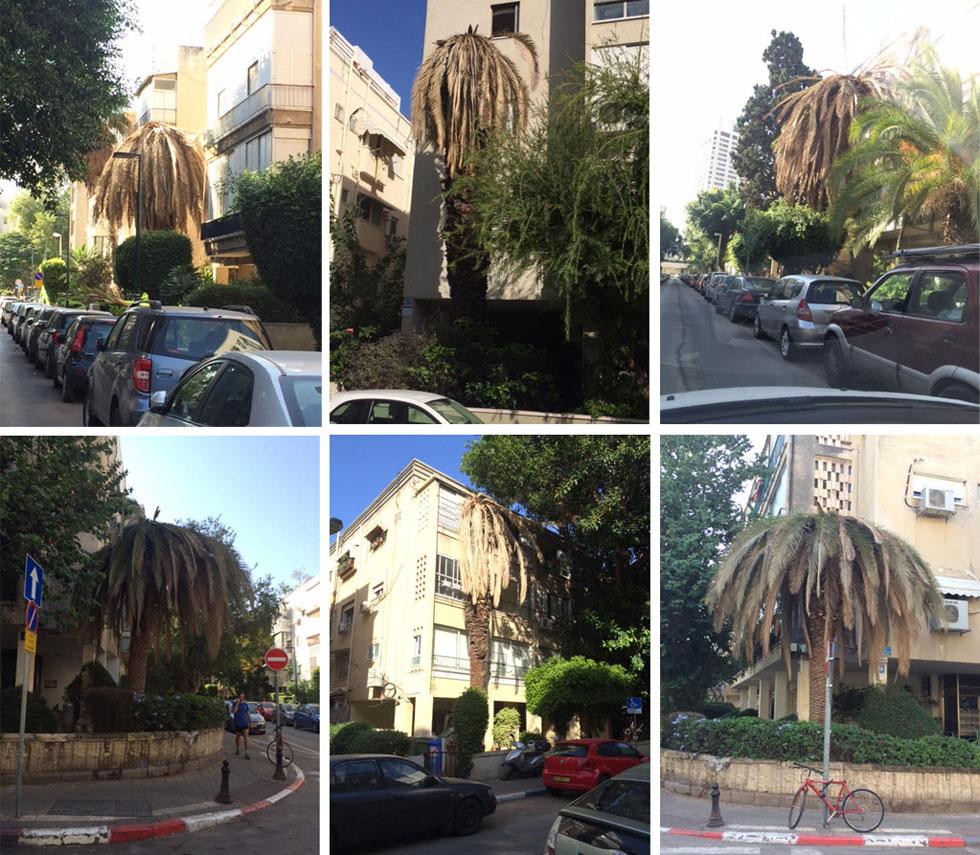 עשרות עצים גוועים גם בתל אביב. העצים האלה צולמו באזור גן העיר, ברחובות הפרדס והקלי''ר (צילום: אריאל אהרמן)