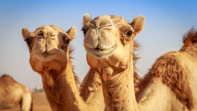 דוהרים ורומסים. הגמלים ייהרגו רחוק ממקומות יישוב (צילום: shutterstock) (צילום: shutterstock)