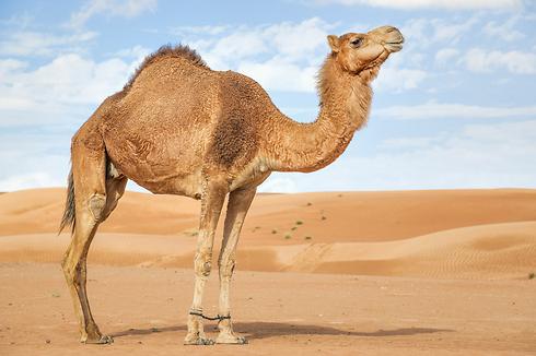 כבר 170 שנה. הגמלים ממלאים את אוסטרליה (צילום: shutterstock) (צילום: shutterstock)