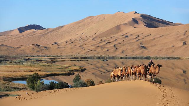 גמלים במדבר גובי - מהגדולים בעולם. מונגוליה התיכונה  (צילום: shutterstock) (צילום: shutterstock)