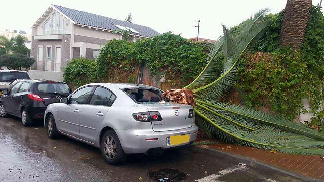 עץ שנפל בפתח תקווה (צילום: איתן נווה) (צילום: איתן נווה)