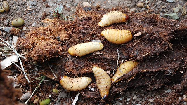 הזחלים של החדקונית (צילום: שמעון ביטון, משרד החקלאות) (צילום: שמעון ביטון, משרד החקלאות)