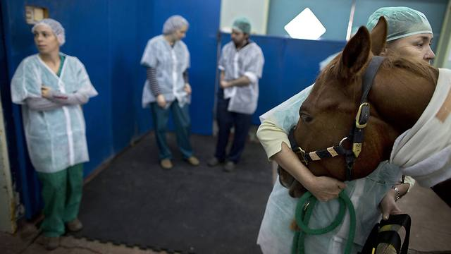 A veterinarian holds a horse as he is anesthetized before a surgery at the University's Koret School of Veterinary Medicine in Rishon Lezion, Israel (Photo: AP)