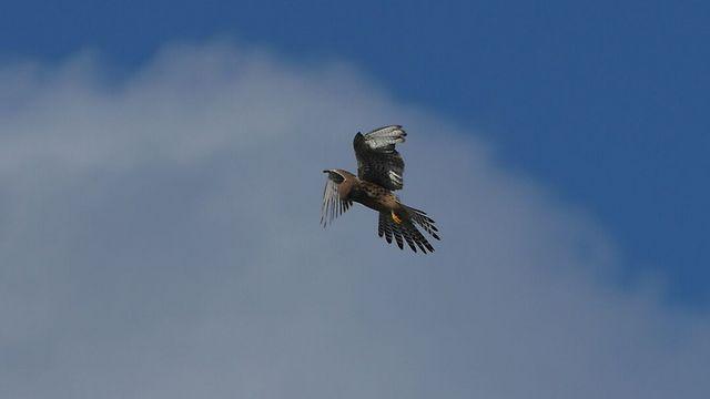 Bird of prey flies above Tel Aviv region (Photo: Yuval Dax)