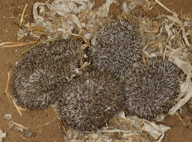 גורי קיפוד מצוי. עונת החיזור של הקיפוד המצוי מתחילה באביב (בחודשים אפריל עד יוני). ההיריון נמשך 49-34 ימים, והנקבה ממליטה ארבעה-חמישה גורים. הגורים נולדים עיוורים ועירומים. הקוצים שלהם לבנים, רכים וקצרים, אך במהלך 36 השעות הראשונות לחייהם צומחים הקוצים הקבועים. (צילום: עזרא חדד) (צילום: עזרא חדד)