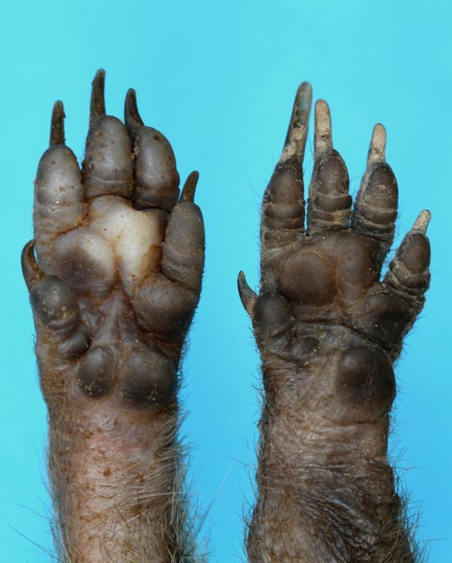 כפות רגליים של קיפוד מצוי. (צילום: עזרא חדד) (צילום: עזרא חדד)