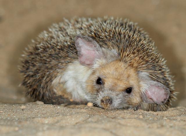 """לקיפוד החולות תכונות חיצוניות המאפיינות בעלי חיים מדבריים - הוא קטן, רגליו ואוזניו ארוכות, והוא רץ במהירות שמגיעה ל-12 קמ""""ש.  (צילום: עזרא חדד)"""