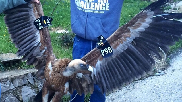 The vulture that was captured in Lebanon (Photo: bintjbeil.org)