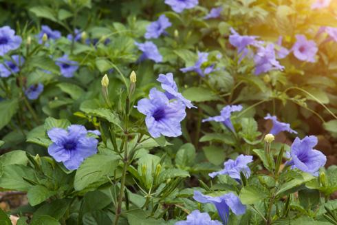 צמחי הנוי הנפוצים שכדאי לחשוב פעמיים לפני ששותלים אותם (צילום: shutterstock   )