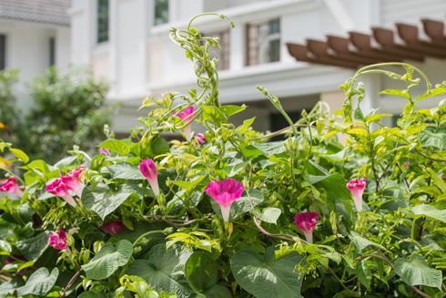 לפופית נאה. משתלטת על שאר הצמחים (צילום: shutterstock   )