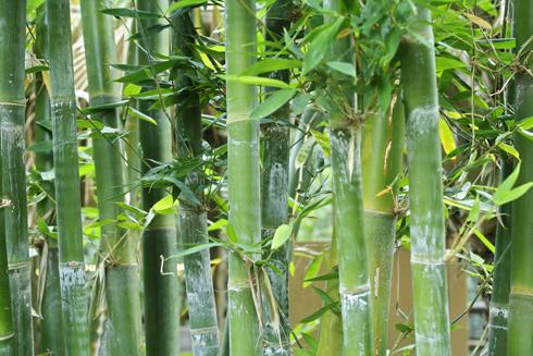 במבוק נאה. גדל לממדים עצומים ועלול להשתלט על הגינה (צילום: shutterstock   )