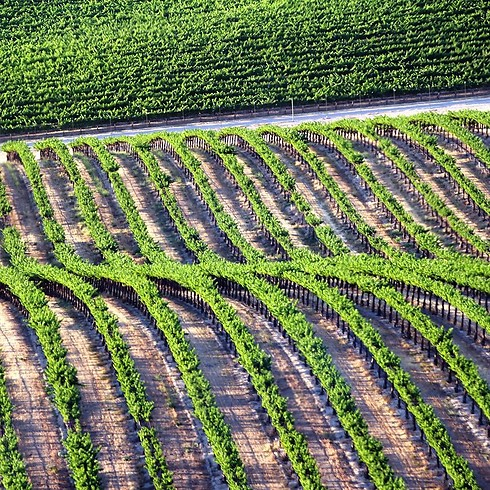 כרמים בקליפורניה (צילום: תומר צדוק) (צילום: תומר צדוק)