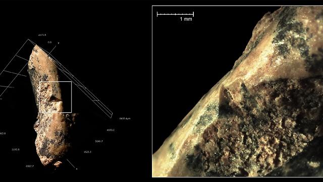"""סימני חיתוך שנעשו בעזרת כלי צור על עצם גפה קדמית של צב ממערת קסם (צילום: ד""""ר רות בלסקו, המכון הלאומי לחקר האבולוציה של האדם, ספרד) (צילום: ד"""