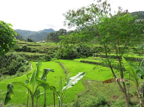 הטראסות המפורסמות בפיליפינים (צילום: מילי רייכמן)
