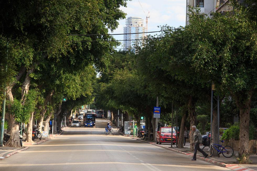 עצי הפיקוס הוותיקים ברחוב ארלוזורוב מיועדים לכריתה בגלל הקו הסגול שיעבור ברחוב. האגרונום שכתב את חוות הדעת לא התרשם מהם (צילום: דור נבו)