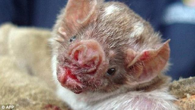 מכת עטלפים מוצצי-דם (צילום: AFP) (צילום: AFP)