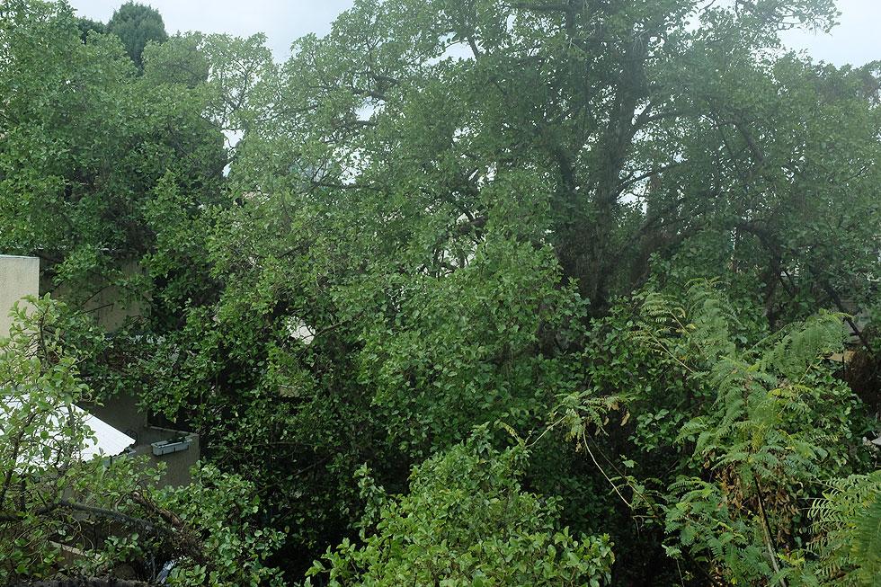 היזם ביקש להתקרב לעץ כדי 1.65 מטר, מה שעלול לפגוע קשות בשורשי השקמה. העירייה דחתה זאת (צילום: דנה רובין, אתר מדלן)