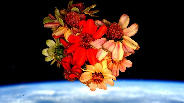 """הפרחים שפרחו בתחנת החלל בתמונה שקלי פרסם לרגל ולנטיין דיי (צילום: סקוט קלי, נאס""""א) (צילום: סקוט קלי, נאס"""