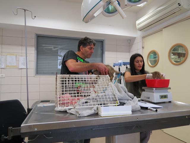 """רוני אליאס, מטפלת ראשית בביה""""ח לחיות בר קולטת את הגורים לטיפול ראשוני (צילום: נהוראי עקליאן)"""