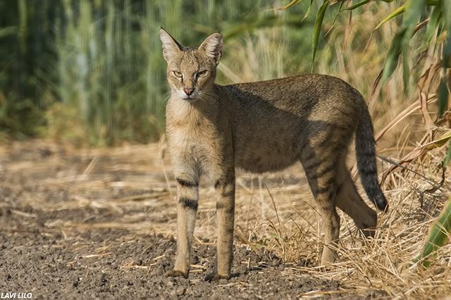 חתול הביצות הוא טורף שחי בישראל ובאסיה. אוכלוסייתו מוערכת בכ-600 פרטים בישראל. חתולי הביצות חיים בעיקר באזורים סבוכים בצמחייה הסמוכה לביצות ובריכות דגים. הוא פעיל בעיקר בלילה, אך גם בשעות הבוקר ואחר הצהריים. הוא צד מכרסמים, בעלי כנף, צפרדעים וגם נחשים. הוא נחשב לטורף מהיר בעל מהירות ריצה גבוה, יכולת שחייה ואינו חושש להיכנס למים כדי לצוד דגים. בתמונה - חתולת ביצות ליד נחל הקישון (צילום: לביא לילו)