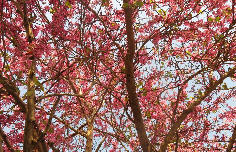 כליל החורש. רבבות פרחים מכסים את כל העץ כמו ענן ורוד (צילום: גלית כהן רודה)