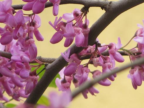 על פי האגדה, העץ הסמיק מבושה ופרחיו נצבעו בוורוד (צילום: גלית כהן רודה)