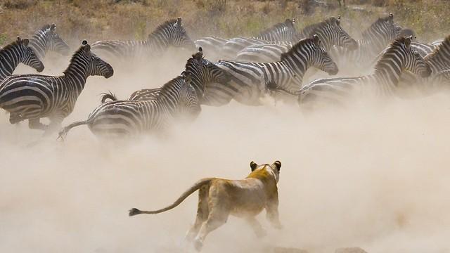 בואו לטרוף את אפריקה  (צילום: shutterstock)