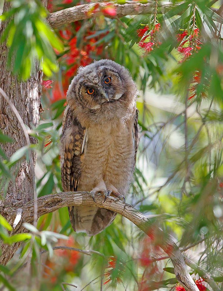 פרחון של ינשוף עצים (צילום: שלמה ולדמן) ()