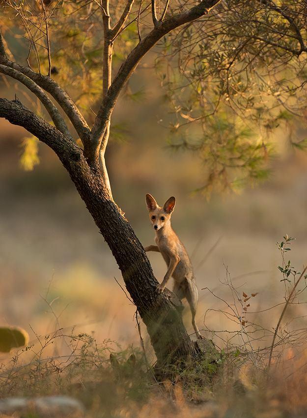 שועל מצוי ביער בן שמן (צילום: אלכס גייפמן)