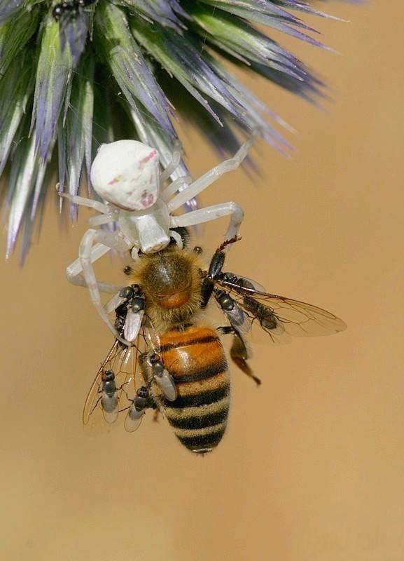 סרטביש אוכל דבורה (צילום: ישראל שדה)