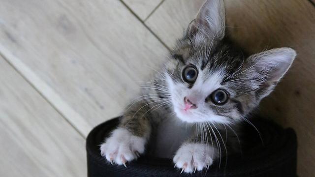 גם אם קוראים לו אייזיק, הוא לא ניוטון. חתול (צילום: רויטרס)
