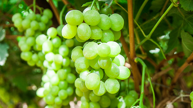 אכלו ענבים שרוססו בחומר הדברה, ונפגעו קשות (צילום: דניאל אליאור)