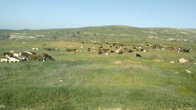 """עזים באחו, חוות אלה-צדק (צילום: יח""""צ)"""