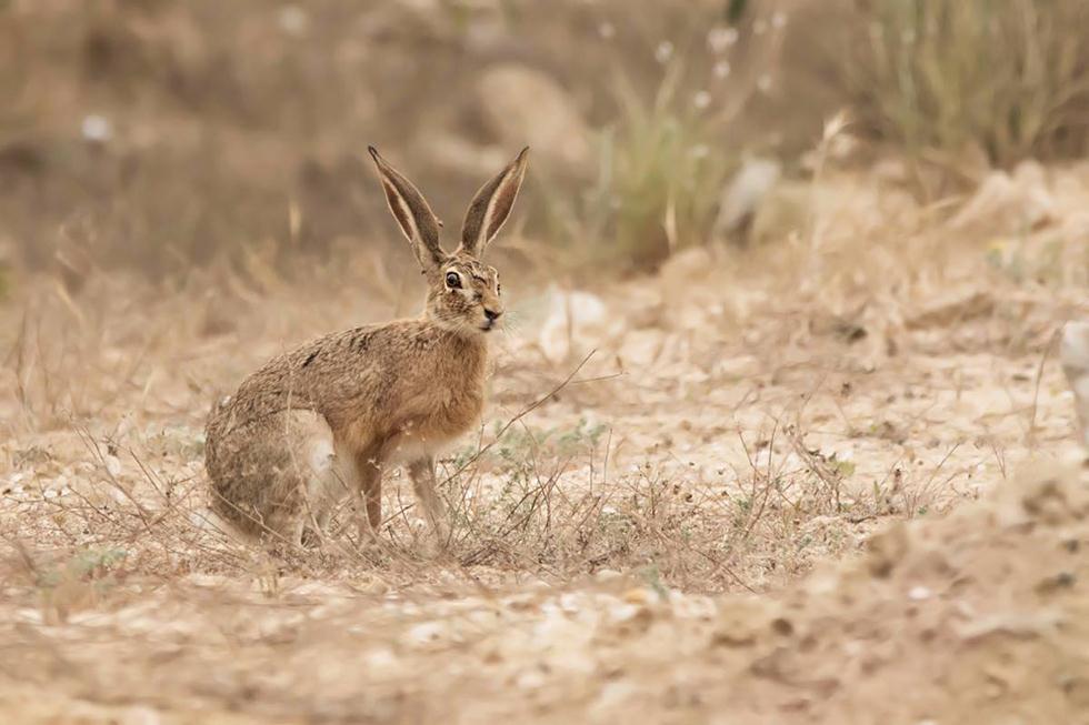 ארנבת שדה באזור אשדוד (צילום: מורדי מור חוטובלי) ()