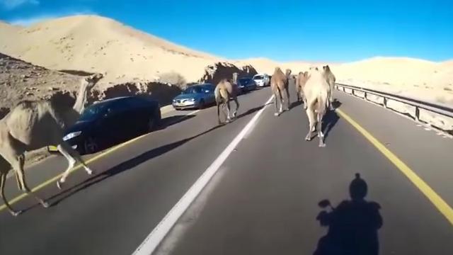 ליד המכוניות: גמלים משוטטים בכבישי הדרום (באדיבות אור ירוק) (באדיבות אור ירוק)