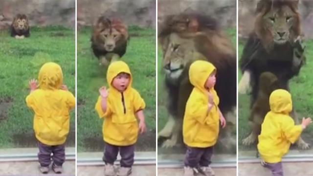 הילד הפנה את גבו לאריה, וזה החל לשעוט לעברו. הזכוכית הפרידה ביניהם
