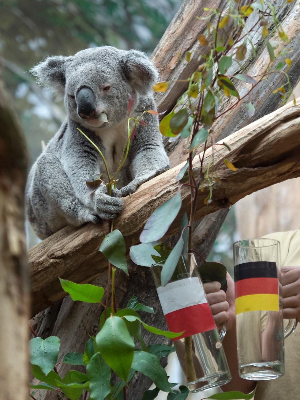 דוב קואלה מנסה להכריע מי תנצח במשחק בין גרמניה לפולין ביורו. נגמר 0:0 (צילום: AP)