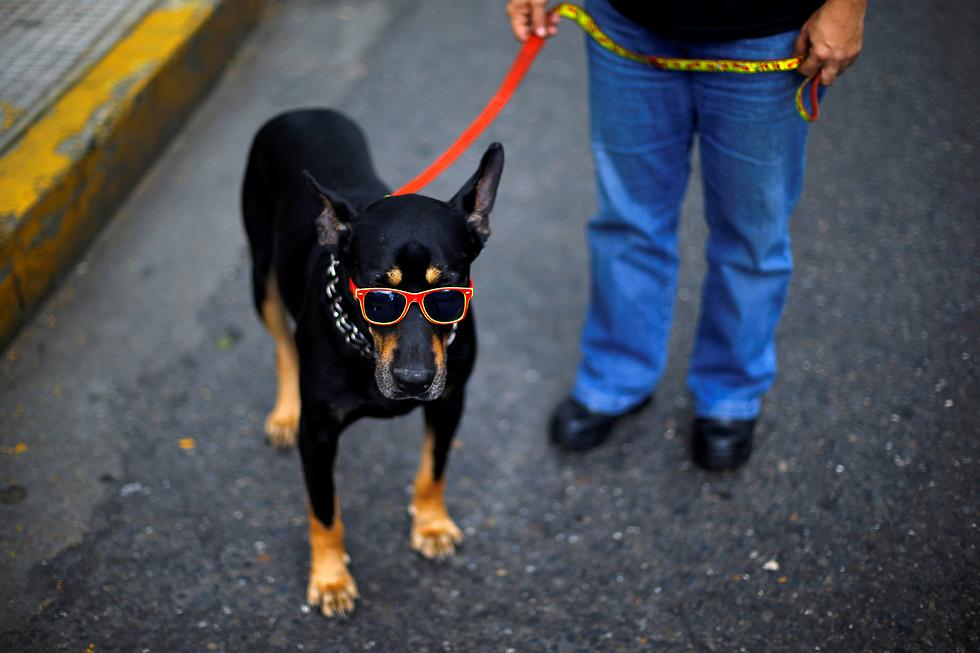 הכלבים של ונצואלה מגניבים יותר (צילום: רויטרס)