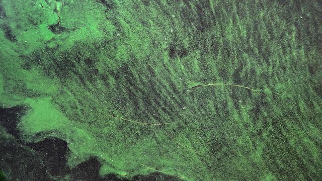 מים ירוקים בפלורידה (צילום: AFP) (צילום: AFP)