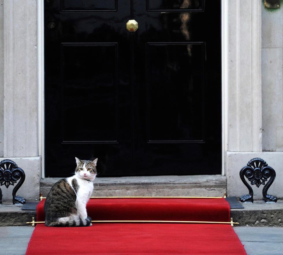 נשאר מאחור. החתול של דאונינג 10 לארי (צילום: EPA) (צילום: EPA)