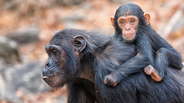 במשך ארבע או חמש שנים הם יישארו צמודים לאמא (צילום: shutterstock) (צילום: shutterstock)